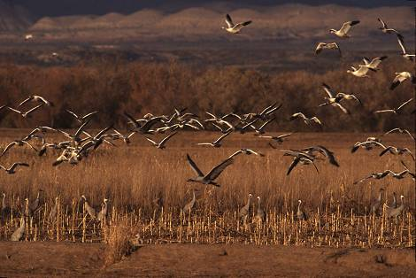 Birds in flight at Bosque del Apache in New Mexico.